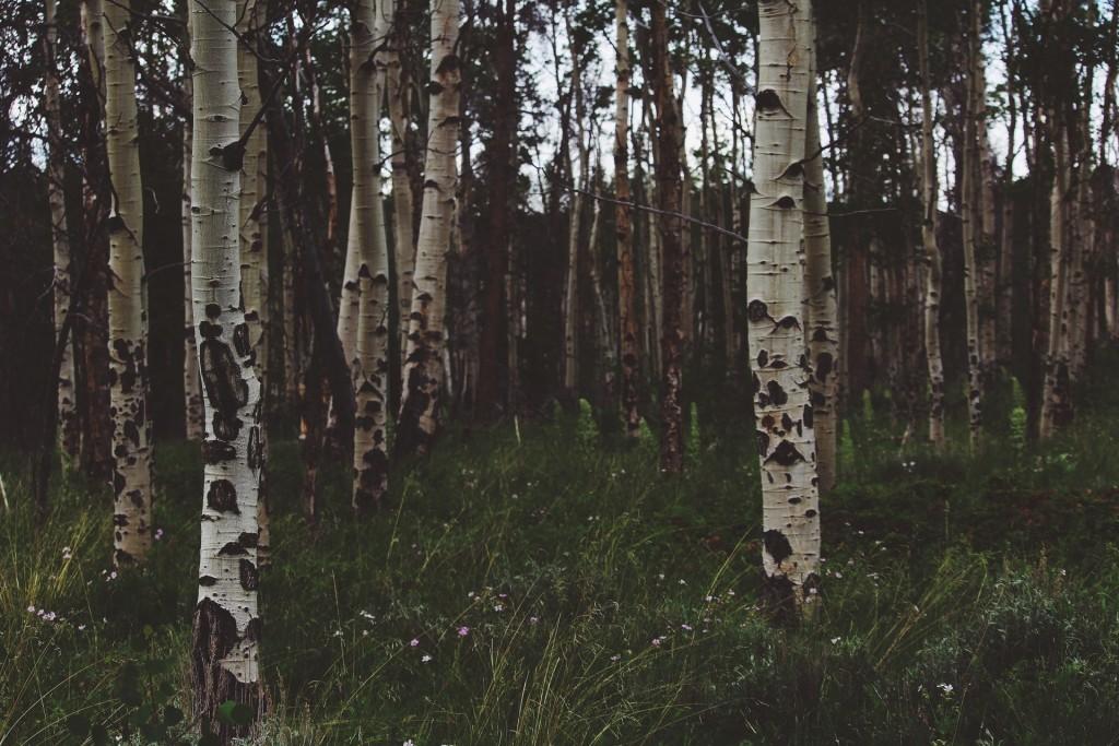 birch-trees-1031544_1920