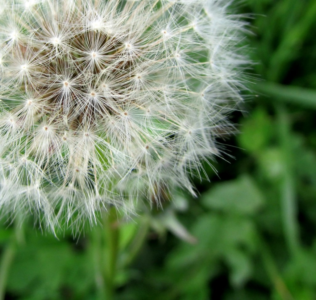 dandelion-142969_1280